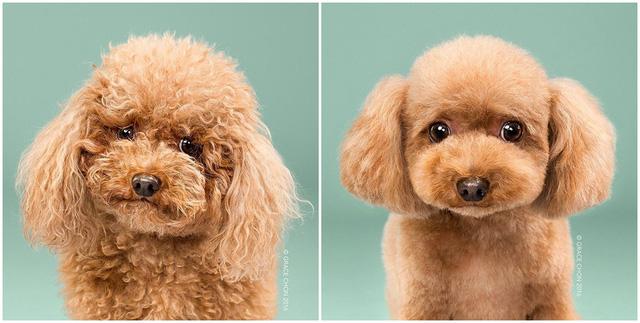 Chú chó Biggie trông không thể yêu hơn với kiểu lông mới