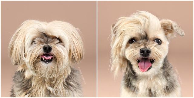 Kiểu lông mới khiến cho chú chó Rocco trở nên cá tính hơn