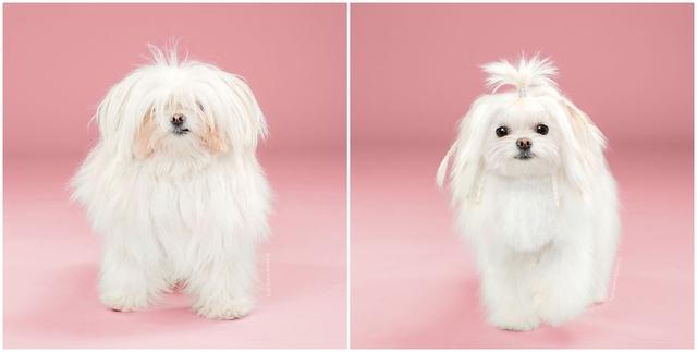 Chú chó Yuki trở nên tinh nghịch hơn với bộ lông mới