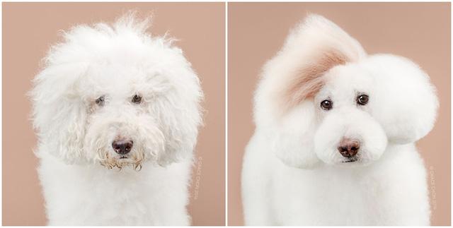 Chú chó Athena trông như ngôi sao ca nhạc với phần lông ở đầu tỉa lệch