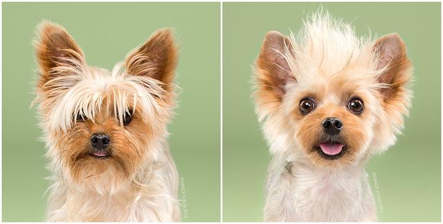 Bộ lông mới khiến chú chó Teddy có vẻ ngoài rất tinh nghịch