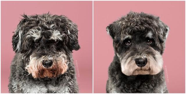 Chú chó Raider nhìn trông sáng sủa và sạch sẽ hơn nhiều sau khi cắt tỉa lông