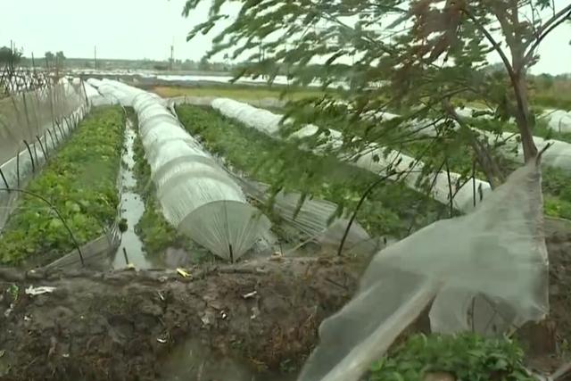 Gió giật liên hồi, cuốn bay những mảnh nilon, để lộ những ruộng rau xơ xác vì mưa lớn.