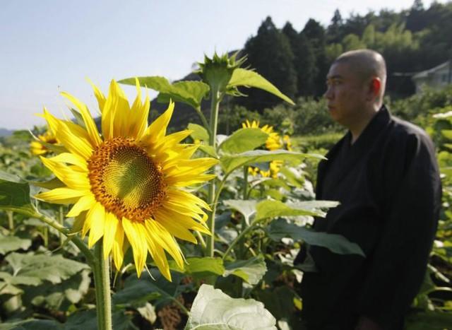 Sư trụ trì Koyu Abe, đền Joenji, Fukushima là người khởi xướng dự án trồng hoa hướng dương tại đây.