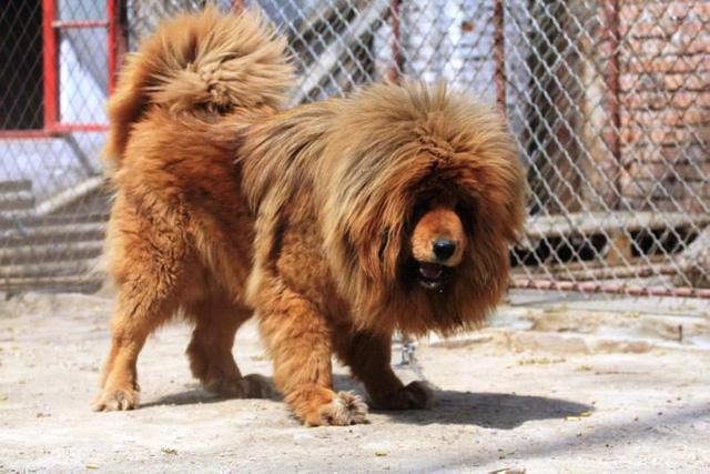 Giống chó lớn Tây Tạng có hình dáng gần giống sư tử được nuôi tại một vườn thú ở Trung Quốc.