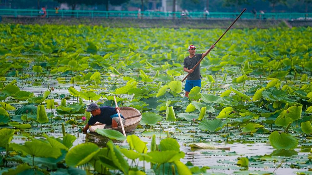 Sen Hồ Tây vào mùa, rực rỡ khoe sắc khắp phố phường Hà Nội  - Ảnh 6.