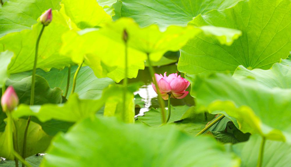 Sen Hồ Tây vào mùa, rực rỡ khoe sắc khắp phố phường Hà Nội  - Ảnh 1.