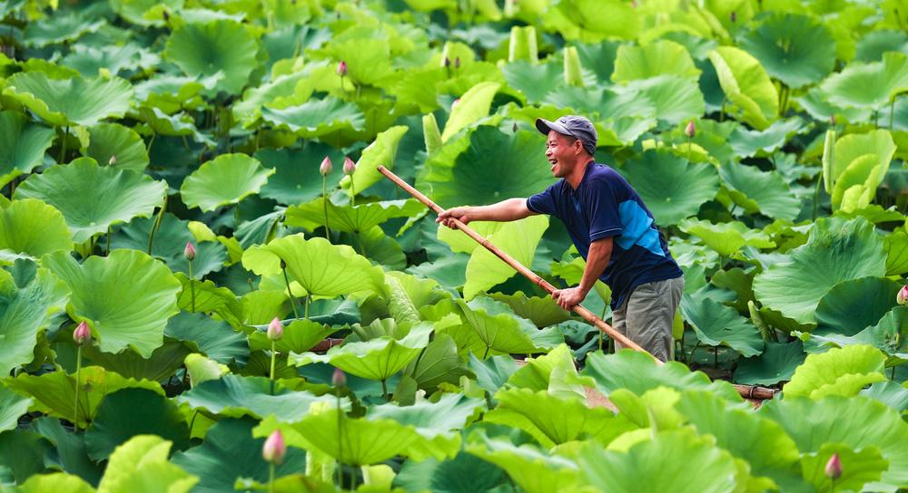 Sen Hồ Tây vào mùa, rực rỡ khoe sắc khắp phố phường Hà Nội  - Ảnh 7.