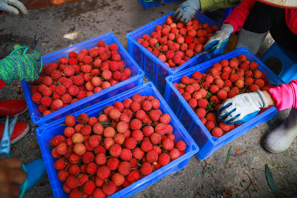 Lục Ngạn (Bắc Giang) mùa vải chín: Phiên chợ rực rỡ sắc đỏ - Ảnh 11.