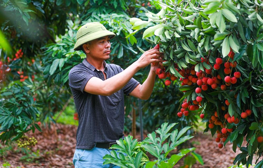 Lục Ngạn (Bắc Giang) mùa vải chín: Phiên chợ rực rỡ sắc đỏ - Ảnh 19.