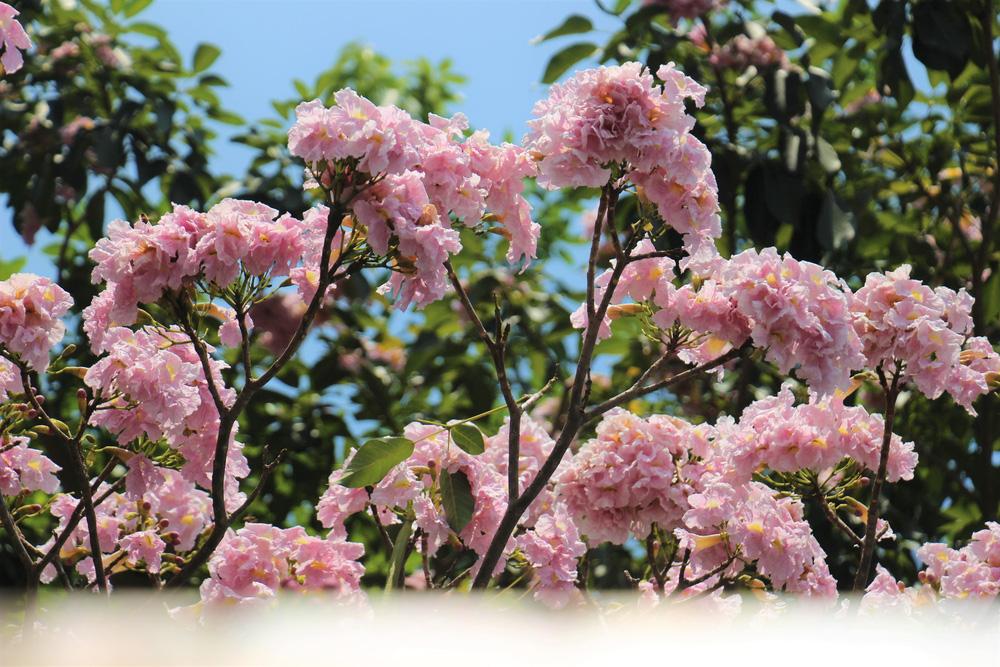 Đường phố TP Hồ Chí Minh thơ mộng trong sắc hoa kèn hồng rực rỡ - Ảnh 2.