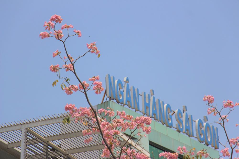 Đường phố TP Hồ Chí Minh thơ mộng trong sắc hoa kèn hồng rực rỡ - Ảnh 3.
