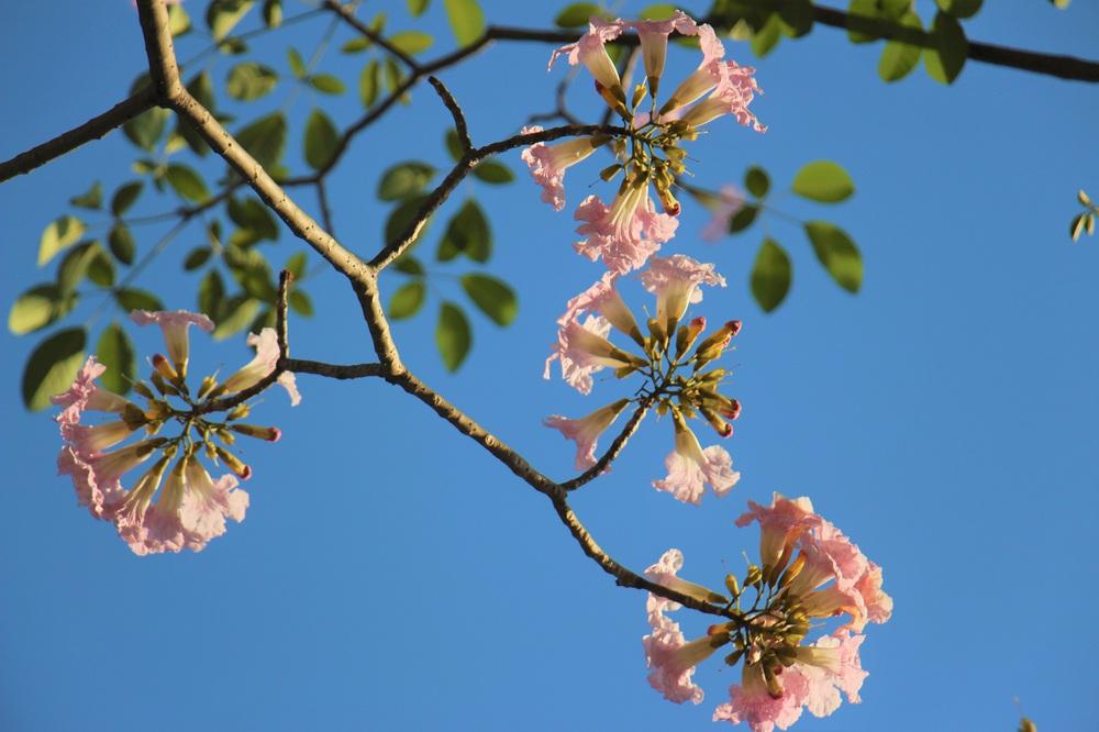 Đường phố TP Hồ Chí Minh thơ mộng trong sắc hoa kèn hồng rực rỡ - Ảnh 8.