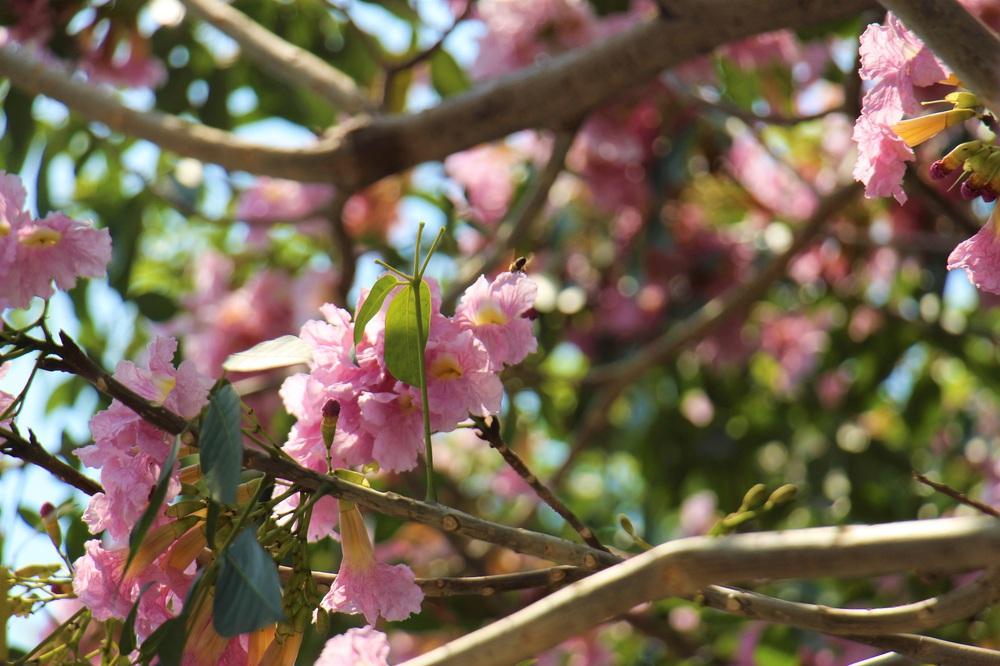 Đường phố TP Hồ Chí Minh thơ mộng trong sắc hoa kèn hồng rực rỡ - Ảnh 9.