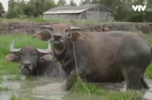 Gặp anh nông dân trở thành tỷ phú nhờ nuôi trâu