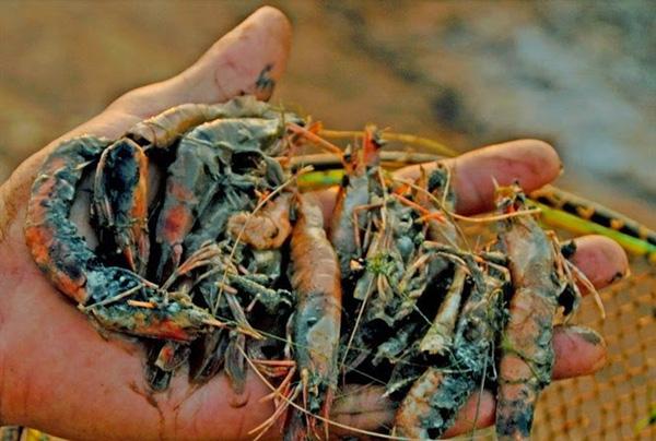 Bạc Liêu: Hàng trăm ha tôm chết do nắng nóng