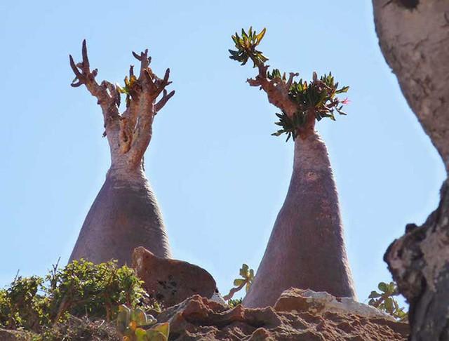 Khám phá Socotra - Hòn đảo được ví như hành tinh khác trên Trái đất - Ảnh 12.