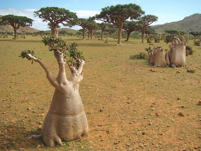 Khám phá Socotra - Hòn đảo được ví như hành tinh khác trên Trái đất - Ảnh 14.