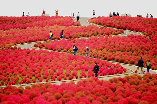 Diệu kì màn biến hóa của cây Kokia ở công viên Hitachi Seaside, Nhật Bản - Ảnh 4.