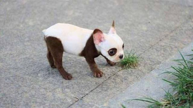 Ngắm những chú chó có bộ lông đặc biệt nhất thế giới - Ảnh 8.