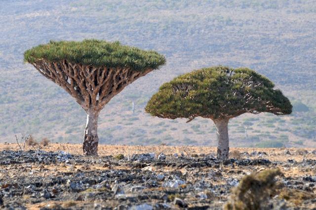 Khám phá Socotra - Hòn đảo được ví như hành tinh khác trên Trái đất - Ảnh 6.