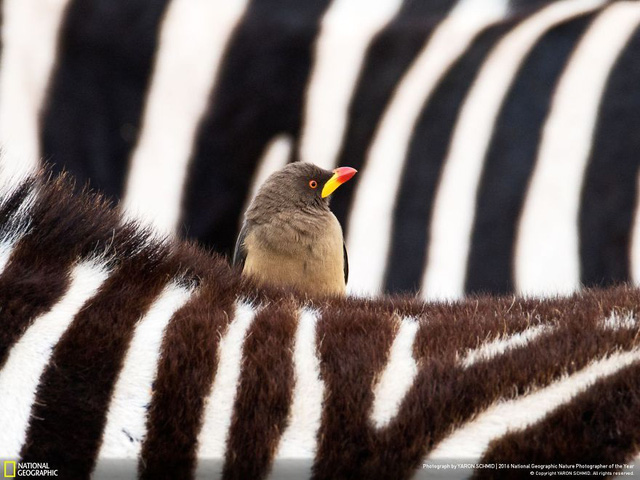 Tròn mắt ảnh thiên nhiên ấn tượng của National Geographic năm 2016 - Ảnh 22.