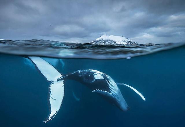 Ấn tượng những bức ảnh đẹp về cá voi ở Bắc Cực - Ảnh 5.