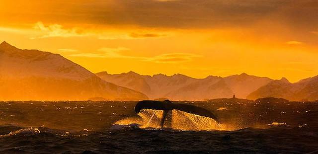 Ấn tượng những bức ảnh đẹp về cá voi ở Bắc Cực - Ảnh 11.