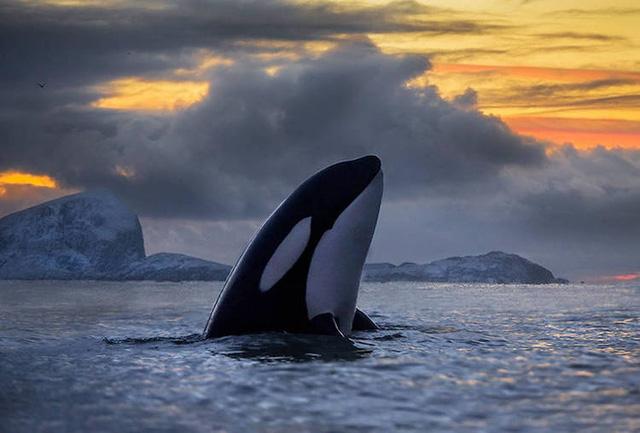Ấn tượng những bức ảnh đẹp về cá voi ở Bắc Cực - Ảnh 2.