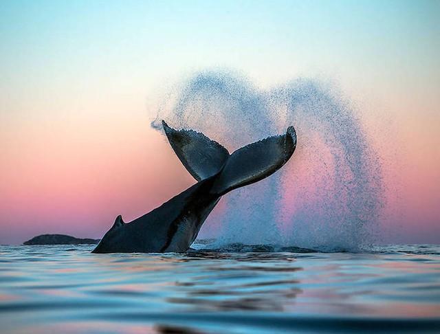 Ấn tượng những bức ảnh đẹp về cá voi ở Bắc Cực - Ảnh 6.