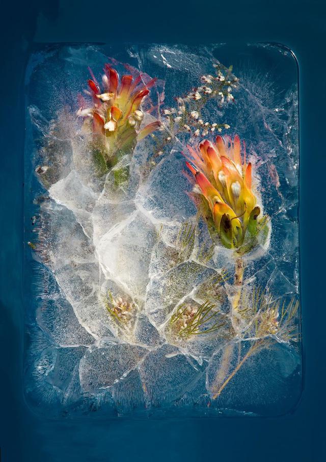 Ngắm vẻ đẹp mong manh của những bông hoa đóng băng - Ảnh 9.