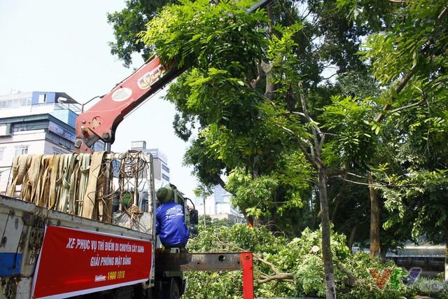 Số phận hơn 100 cây xanh trên phố Kim Mã sẽ ra sao sau khi được di dời? - Ảnh 1.