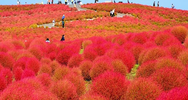 Diệu kì màn biến hóa của cây Kokia ở công viên Hitachi Seaside, Nhật Bản - Ảnh 3.