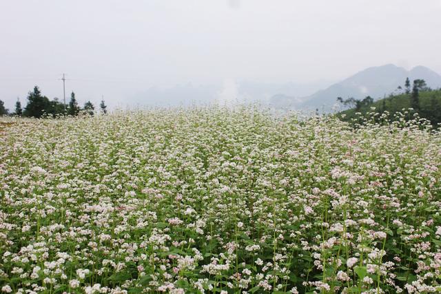 Lễ hội hoa Tam giác mạch Hà Giang 2016 sẽ diễn ra từ ngày 14/10 tới - Ảnh 1.
