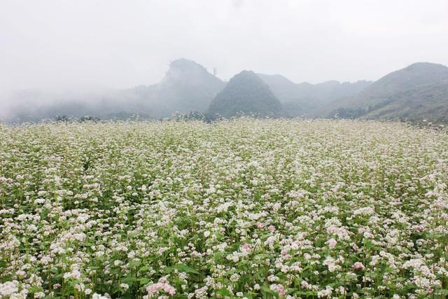 Lễ hội hoa Tam giác mạch Hà Giang 2016 sẽ diễn ra từ ngày 14/10 tới - Ảnh 3.