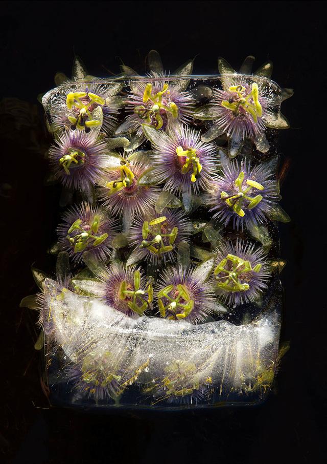 Ngắm vẻ đẹp mong manh của những bông hoa đóng băng - Ảnh 4.