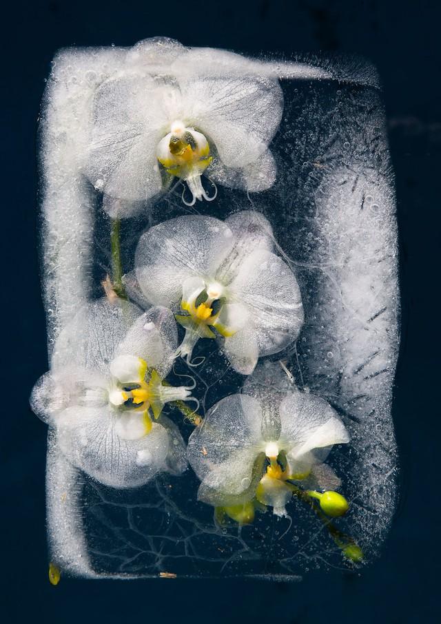 Ngắm vẻ đẹp mong manh của những bông hoa đóng băng - Ảnh 8.