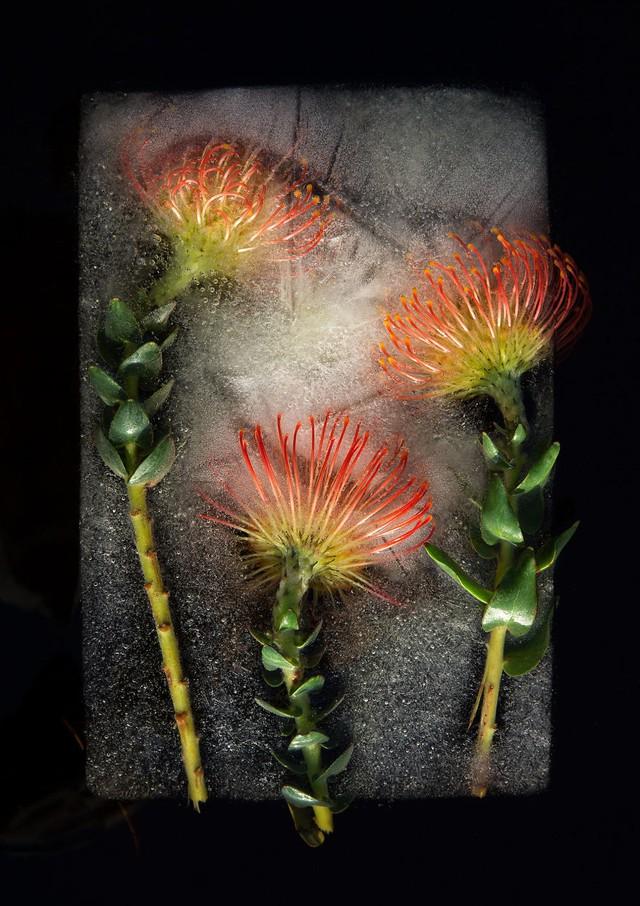 Ngắm vẻ đẹp mong manh của những bông hoa đóng băng - Ảnh 7.