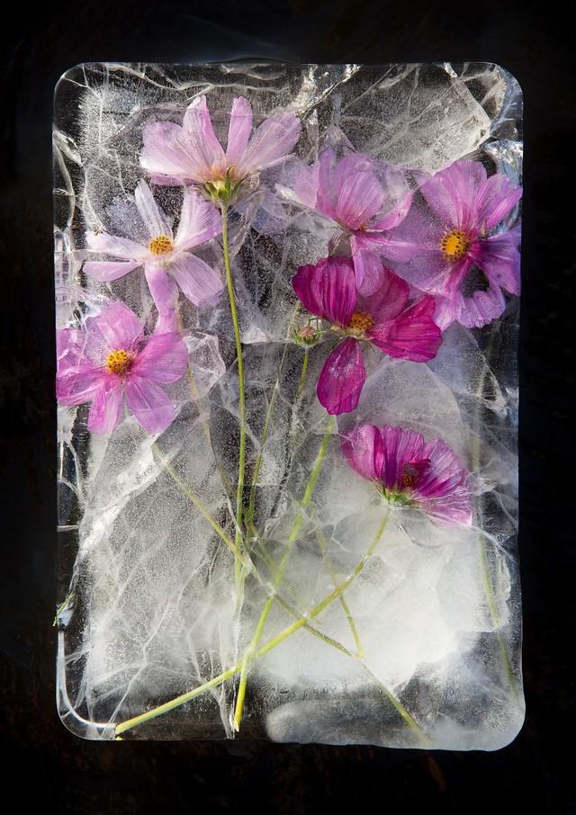 Ngắm vẻ đẹp mong manh của những bông hoa đóng băng - Ảnh 2.