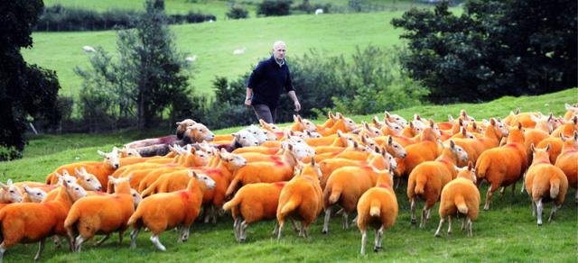 Nhuộm lông màu cam cho 800 chú cừu để... chống trộm - Ảnh 2.