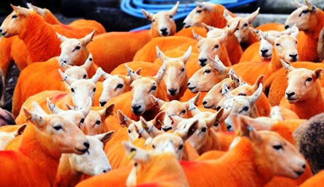 Nhuộm lông màu cam cho 800 chú cừu để... chống trộm - Ảnh 3.