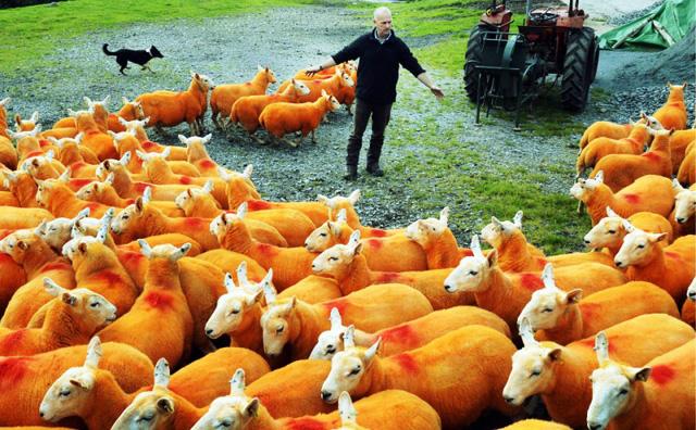 Nhuộm lông màu cam cho 800 chú cừu để... chống trộm - Ảnh 1.