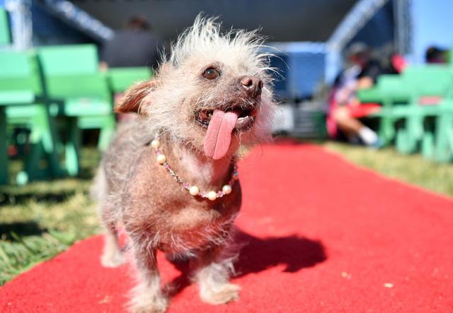 Thú vị cuộc thi... chó xấu nhất thế giới - Ảnh 3.