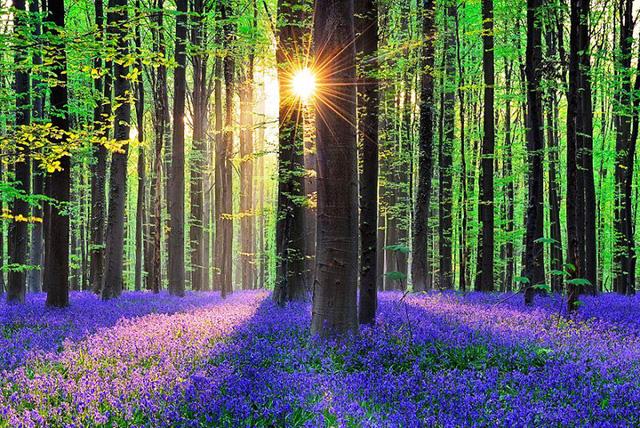 Rực rỡ sắc hoa Chuông xanh ở những khu rừng nước Bỉ - Ảnh 4.