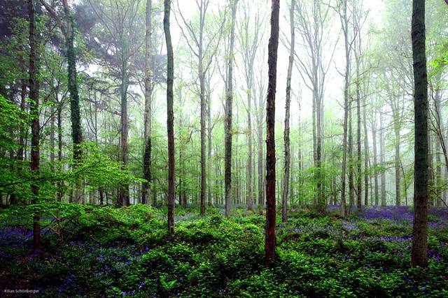 Rực rỡ sắc hoa Chuông xanh ở những khu rừng nước Bỉ - Ảnh 13.