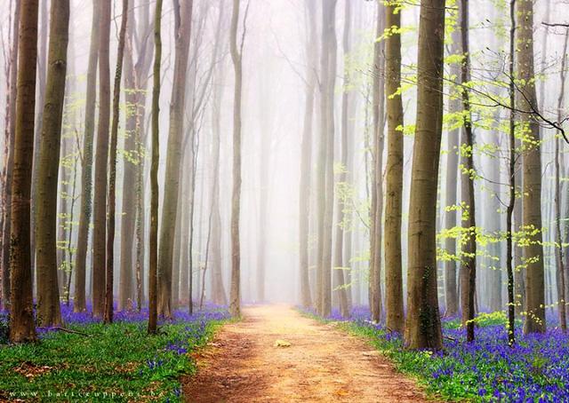 Rực rỡ sắc hoa Chuông xanh ở những khu rừng nước Bỉ - Ảnh 10.