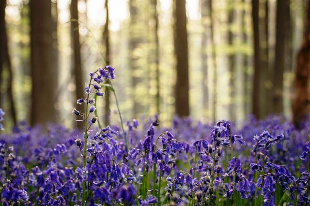 Rực rỡ sắc hoa Chuông xanh ở những khu rừng nước Bỉ - Ảnh 2.