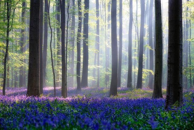 Rực rỡ sắc hoa Chuông xanh ở những khu rừng nước Bỉ - Ảnh 14.
