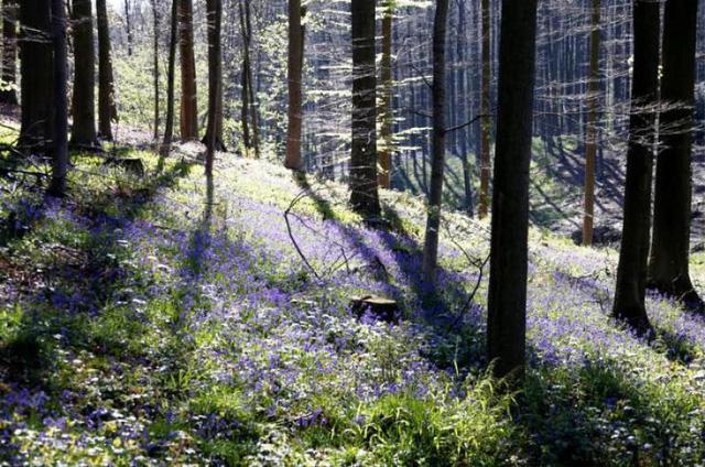 Rực rỡ sắc hoa Chuông xanh ở những khu rừng nước Bỉ - Ảnh 15.