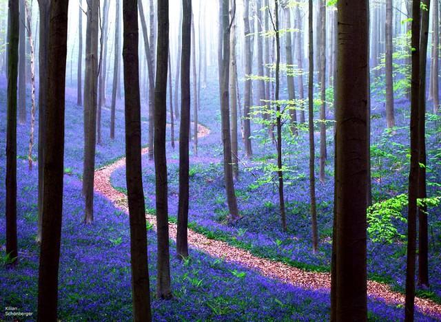 Rực rỡ sắc hoa Chuông xanh ở những khu rừng nước Bỉ - Ảnh 8.